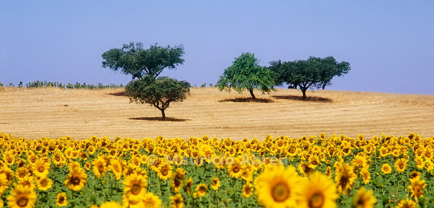Cork trees and sunflowers in ths vast plains of Alentejo, Portugal